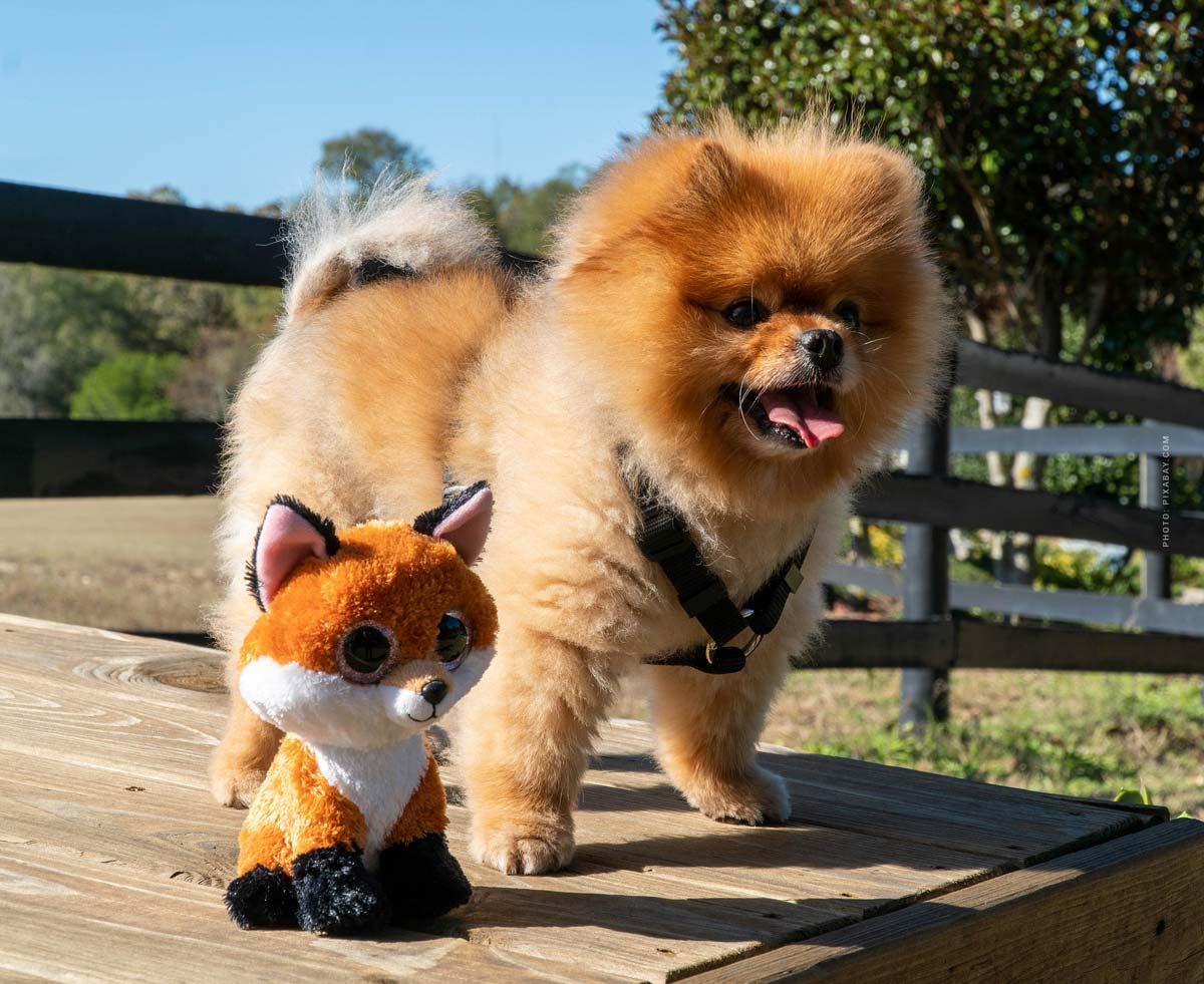 Pomeranian / Miniature Spitz Q&A: cost, care, hair, size, weight, advantages, disadvantages.... Family!